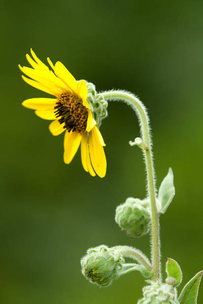 Photograph - Ashy Sunflower  by Daniel Reed