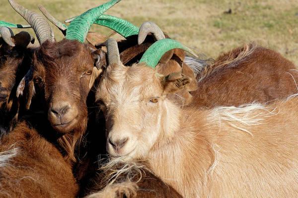 Mountain Goat Photograph - Asia, Mongolia, Altan Hokhii Mountain by Emily Wilson
