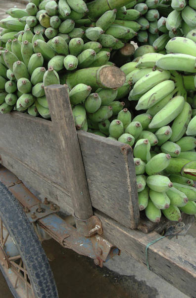 Southeast Asia Wall Art - Photograph - Asia, Vietnam Green Bananas On An Old by Kevin Oke
