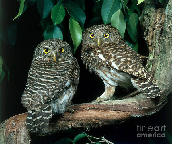 Photograph - Asian Barred Owlets by Hans Reinhard