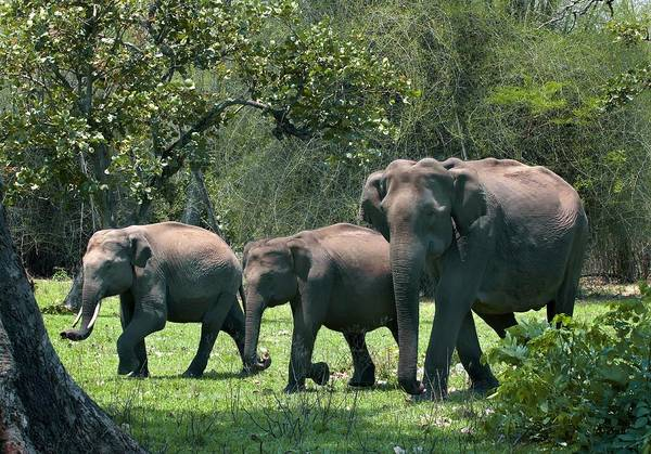 Animal Behaviour Photograph - Asian Elephant Group by K Jayaram