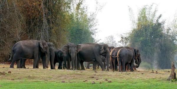 Animal Behaviour Photograph - Asian Elephant Herd by K Jayaram
