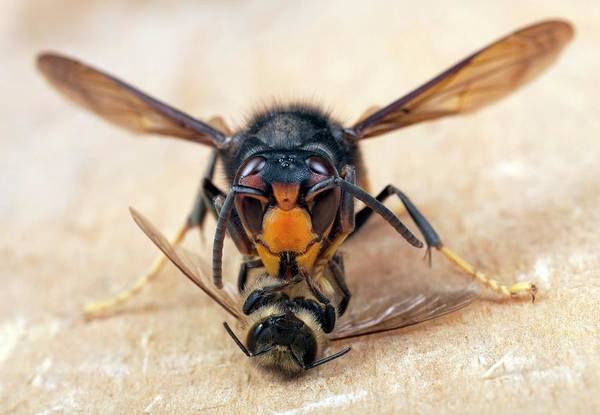 Bee Sting Photograph - Asian Hornet Preying On A Bee by Pascal Goetgheluck/science Photo Library