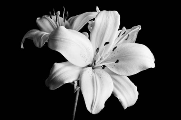 Photograph - Asian Lilies 1 by Sebastian Musial