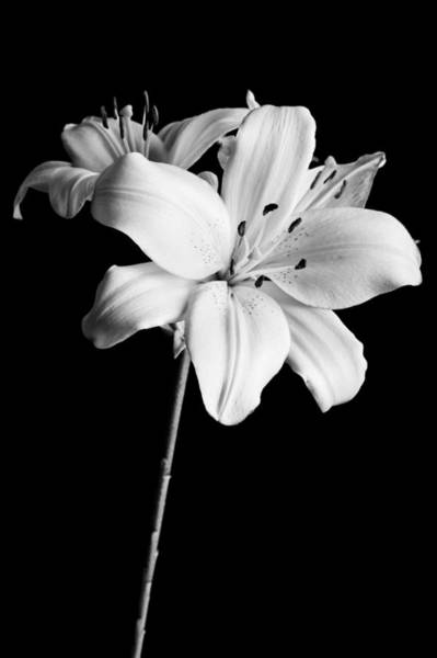 Photograph - Asian Lilies 2 by Sebastian Musial