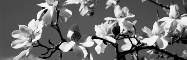Floret Wall Art - Photograph - Asian Magnolia Blossoms Ca by Panoramic Images
