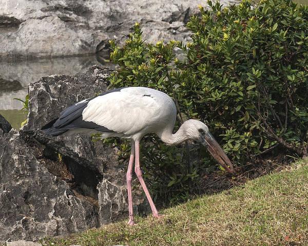 Photograph - Asian Openbill Stork Dthn0150 by Gerry Gantt