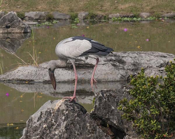 Photograph - Asian Openbill Stork Dthn0156 by Gerry Gantt