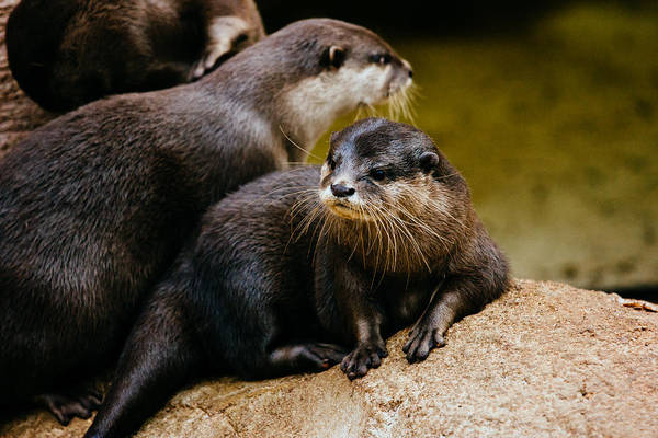 Aonyx Cinerea Photograph - Asian Otter Family by Pati Photography