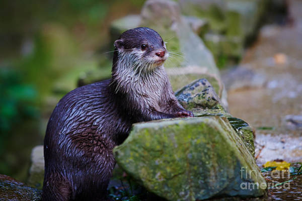 Photograph - Asian Small Clawed Otter by Nick  Biemans