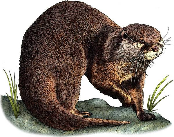 Aonyx Cinerea Photograph - Asian Small Clawed Otter by Roger Hall