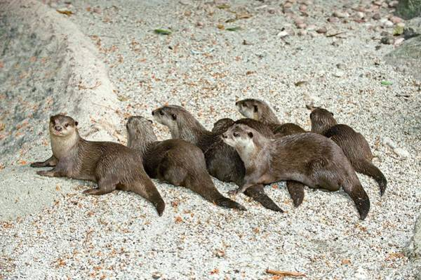 Clawed Photograph - Asian Small Clawed Otters by Tony Camacho/science Photo Library