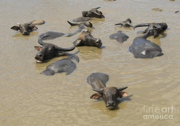 Photograph - Asian Water Buffalo by Dan Suzio