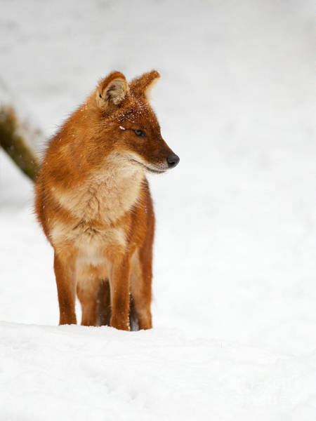 Photograph - Asian Wild Dog In The Snow by Nick  Biemans