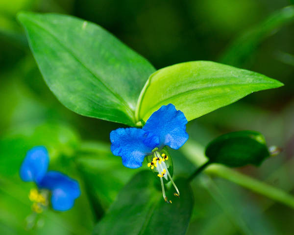 Wall Art - Photograph - Asiatic Dayflower by Bill Pevlor