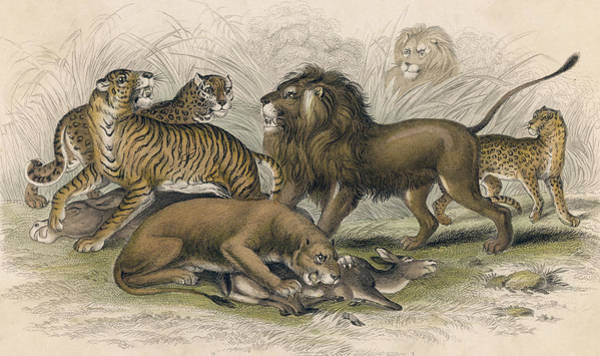 Bengal Tiger Drawing - Asiatic Lion Lioness Bengal Tiger by Mary Evans Picture Library