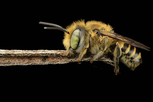 Bee Photograph - Asleep by Donald Jusa