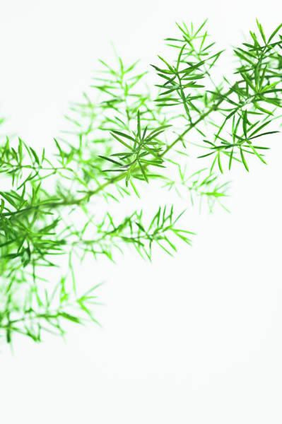 Wall Art - Photograph - Asparagus Fern (asparagus Densiflorus) by Gustoimages/science Photo Library