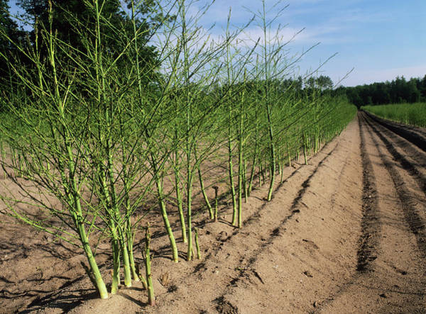 Row Crops Photograph - Asparagus Plants by Bob Gibbons/science Photo Library