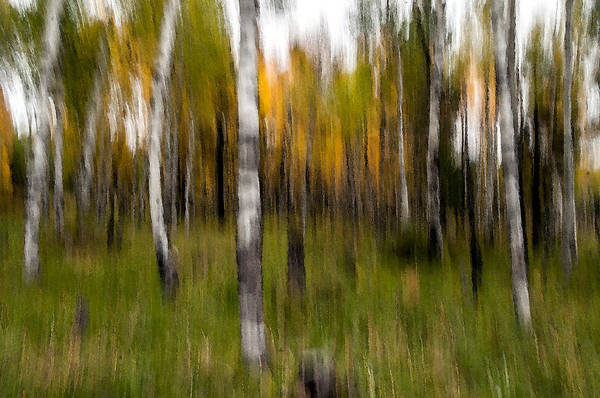 Photograph - Aspen Trees Abstract by Tam Ryan