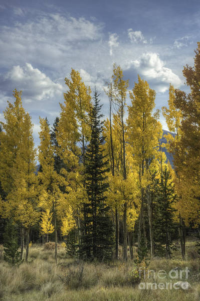 Photograph - Aspen And Evergreen by David Waldrop