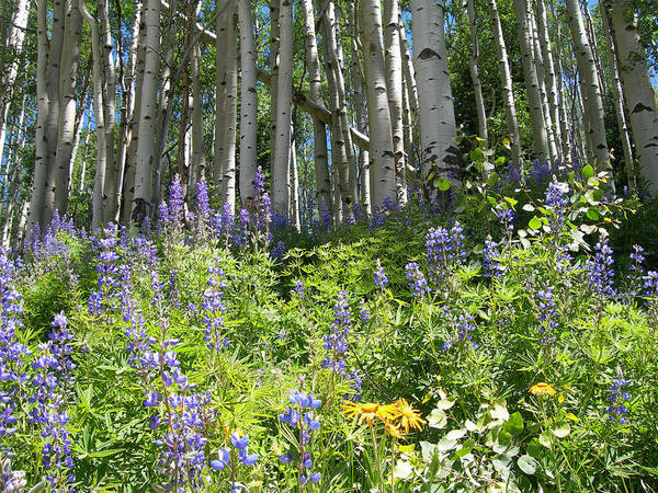Wall Art - Photograph - Aspen And Wildflowers by Lorraine Baum