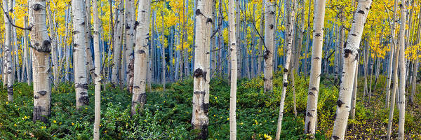 Wall Art - Photograph - Aspen Blues by Guy Schmickle