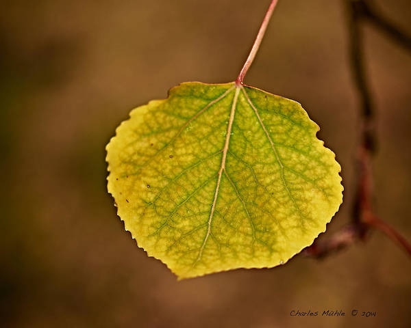Photograph - Aspen  by Charles Muhle