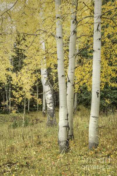 Photograph - Aspen Cluster by David Waldrop