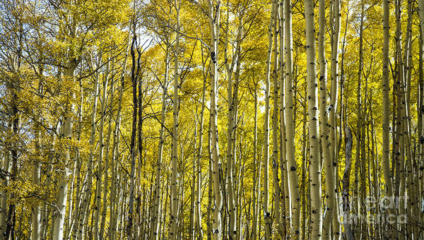 Photograph - Aspen Forest by Tim Mulina