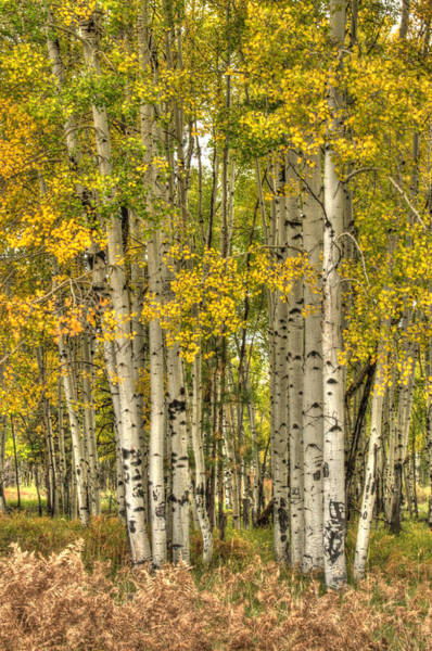 Photograph - Aspen Glow by Tam Ryan