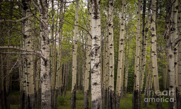Photograph - Aspen Grove by Blake Webster