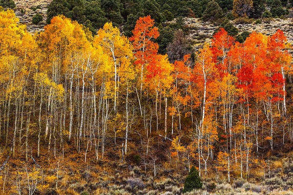 Photograph - Aspen Grove by Wes and Dotty Weber