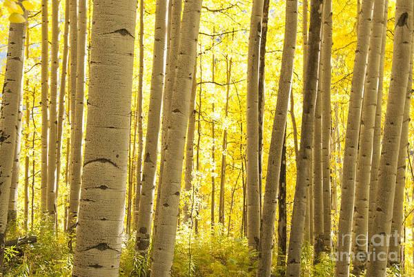 Wall Art - Photograph - Aspen Grove In Autumn by Juli Scalzi