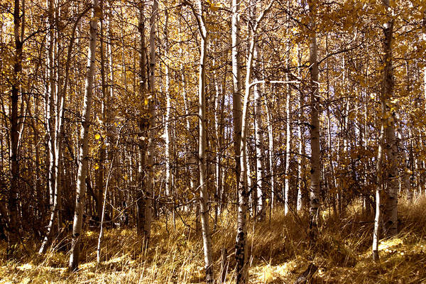 Photograph - Aspen Grove In Lake Tahoe by William Havle