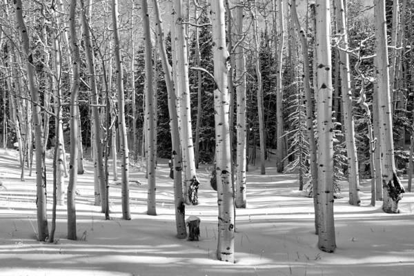 Photograph - Aspen Grove In Winter by Denise Bush