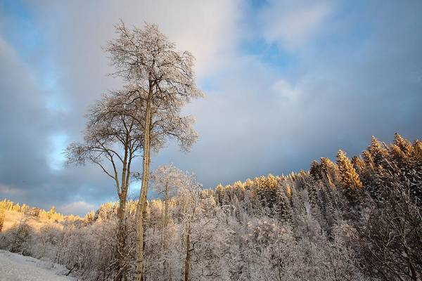 Photograph - Aspen In Blue by David Andersen