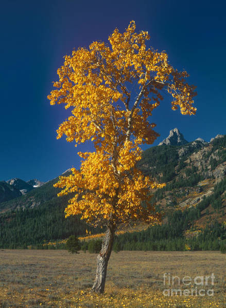 Photograph - Aspen In Fall Color Grand Tetons National Park Wyoming  by Dave Welling