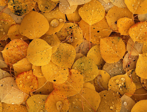 Wall Art - Photograph - Aspen Leaf Pattern by James Steinberg