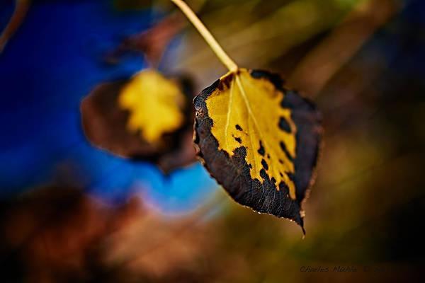 Photograph - Aspen Leaves V by Charles Muhle