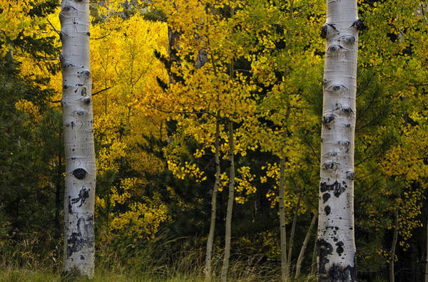 Photograph - Aspen Light by Dave Dilli