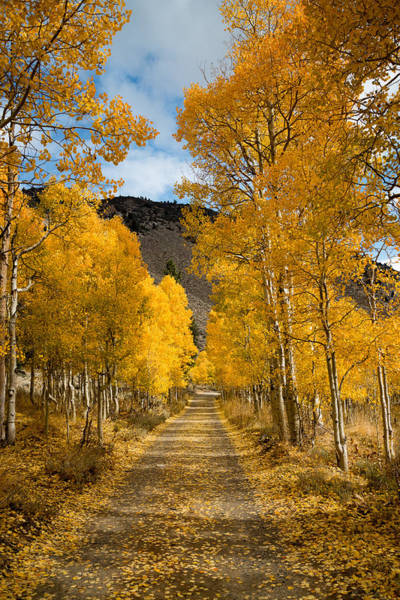 Photograph - Golden Aspen Road In Autumn by Priya Ghose
