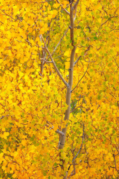 Photograph - Aspen Sun by Darren  White
