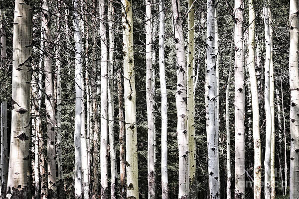 Wall Art - Photograph - Aspen Tree Trunks by Elena Elisseeva