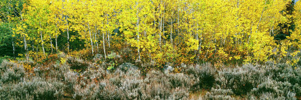 Sagebrush Photograph - Aspen Trees And Sagebrush In A Grove by Panoramic Images