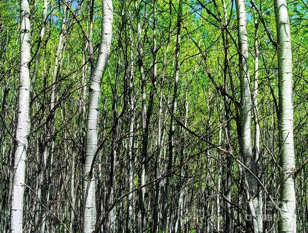 Photograph - Aspen Trees by Anthony Wilkening