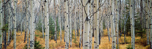 Wall Art - Photograph - Aspen Trees In A Forest, Alberta, Canada by Panoramic Images