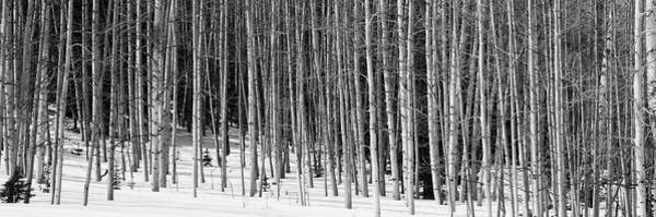Chama Photograph - Aspen Trees In A Forest, Chama, New by Panoramic Images