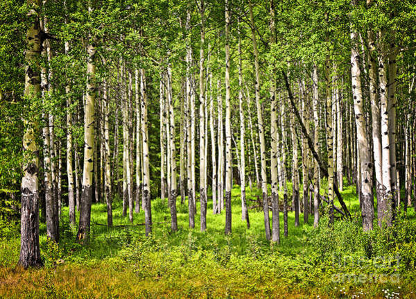 Wall Art - Photograph - Aspen Trees In Banff National Park by Elena Elisseeva