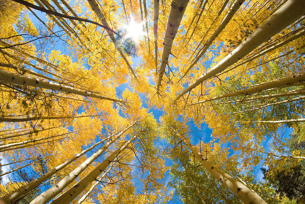 Fish Eye Lens Photograph - Aspen Trees Looking Up by John Hoffman